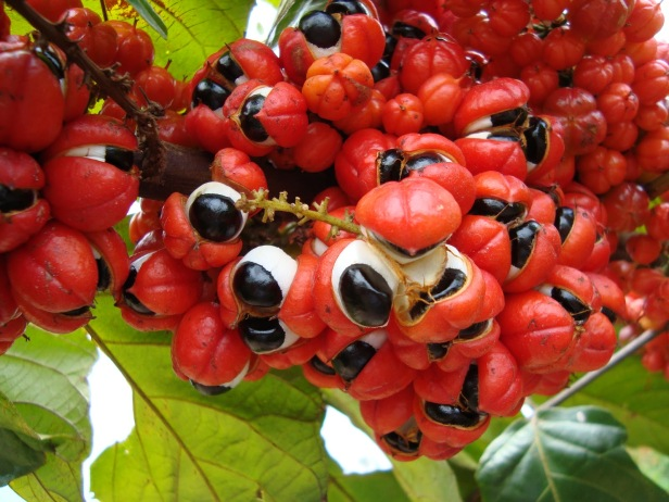 Guarana fruit native to the Amazon rainforest