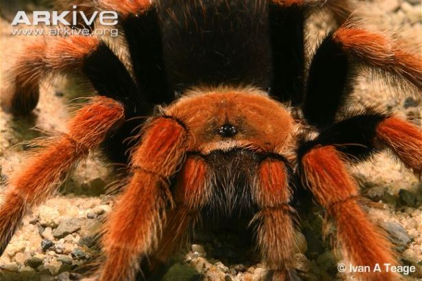Tarantula-showing-eyes